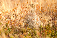 Moquah Barrens Sharp-tailed Grouse